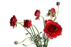 Ranunculus Lizenzfreie Stockbilder