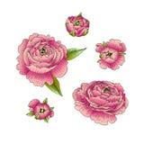 Ranunculus vektor illustrationer