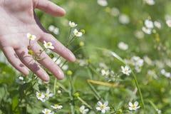 Ranunculus aconitifolius in meadow Stock Photography