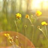 Ranunculus Acris Stockbilder