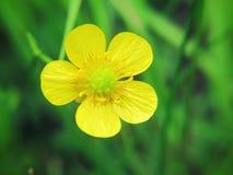 Ranunculus Acris Lizenzfreies Stockbild