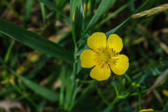 Ranunculus acris Royalty Free Stock Photo