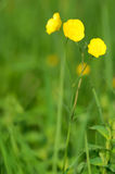 Ranunculus acris flower Royalty Free Stock Photography