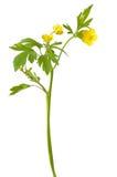 Ranunculus acris flower Stock Images
