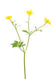 Ranunculus acris flower Royalty Free Stock Images