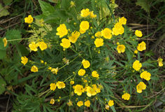 Ranunculus acris flowers Stock Image