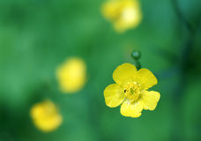 Ranunculus acris flowers Royalty Free Stock Image