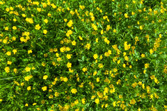 Ranunculus acris (Meadow buttercup, Tall buttercup) yellow flowe Royalty Free Stock Photos