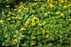Ranunculus acris stock photography