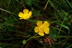 Ranunculus acris - meadow buttercup, tall buttercup, common buttercup, giant buttercup royalty free stock photography