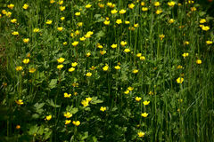 Ranunculus acris. Summer meadow with wild flowers ( Ranunculus acris, Ranunculus acer ), morning warm sun, Saarland / Germany Stock Photo
