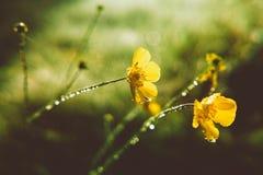 Ranunculus acris Stock Photos