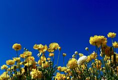 Ranunculus against a blue sky. Yellow with one white ranunculus with a blue sky as background Stock Images