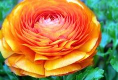 Ranunculus arancione Fotografia Stock Libera da Diritti