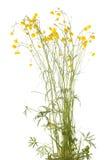 Ranunculus arvensis Royalty Free Stock Image