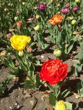 Ranunculus asiaticus Fotografia Royalty Free