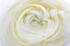 Ranunculus Asiaticus Flower Stock Image