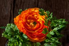 Ranunculus asiaticus or Persian buttercup orange flower wooden background.  royalty free stock photos