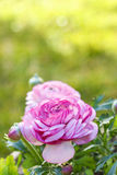 Ranunculus asiaticus Royalty Free Stock Images