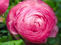 Ranunculus Asiaticus-Rosa in Rose Garden Stockbild