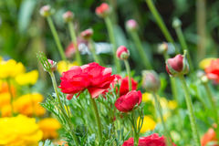 Ranunculus asiaticus seedlings in a flower. Garden Royalty Free Stock Images