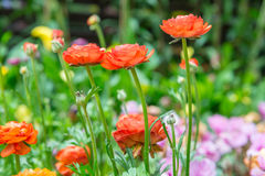 Ranunculus asiaticus seedlings in a flower. Garden Royalty Free Stock Image