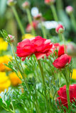 Ranunculus asiaticus seedlings in a flower. Garden Stock Images