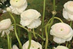 Ranunculus asiaticus weiße Blumen mit den fest gruppierten Blumenblättern Stockfotografie