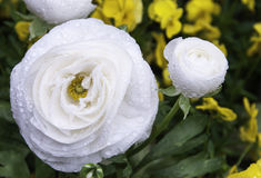 Ranunculus asiaticus white Royalty Free Stock Photo