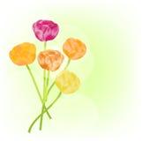 Ranunculus background Stock Photography