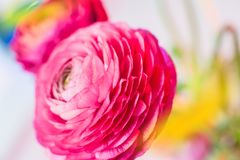 Ranunculus on the background of other flowers of magenta color with soft focus romantic background cover. Ranunculus on the background of other flowers of stock photography