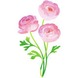 Ranunculus - birth flower vector illustration in watercolor. Birth flower vector illustration in watercolor paint textures royalty free illustration