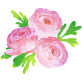 Ranunculus - birth flower vector illustration in watercolor. Birth flower vector illustration in watercolor paint textures stock illustration