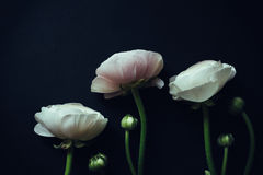 Ranunculus on black background with instagram effects Stock Image