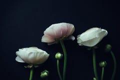 Ranunculus on black background with instagram effects. Three ranunculus on black background with instagram effects Stock Image