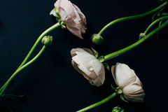 Ranunculus on black background with instagram effects Royalty Free Stock Photo