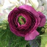Ranunculus bloem royalty-vrije stock foto's