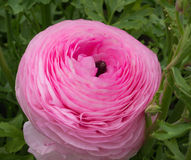 Ranunculus bloem royalty-vrije stock afbeelding