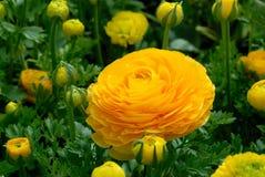 Ranunculus bloesem en knoppen Stock Afbeeldingen