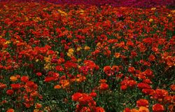 Ranunculus in Blooming in Profusion. Giant Tecolote Ranunculus blooming in profusion in the Flower Fields at Carlsbad, California stock photo