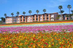 Ranunculus-Blumen-Feld lizenzfreie stockfotografie