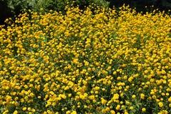 Ranunculus, buttercups. Stock Photos