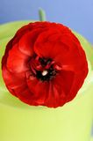 Ranunculus close-up. Stock Afbeeldingen