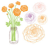 Ranunculus dans un pot photos libres de droits
