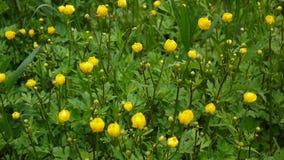 Ranunculus de floraison jaune lumineux de fleur de ressort à bulbe Appareil-photo statique de tir clips vidéos