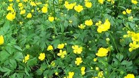 Ranunculus de floraison jaune lumineux de fleur de ressort à bulbe Mouvement de panorama de tir avec le steadicam clips vidéos