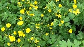 Ranunculus de floraison jaune lumineux de fleur de ressort à bulbe Mouvement de panorama de tir avec le steadicam banque de vidéos
