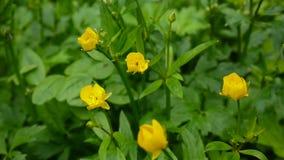 Ranunculus de floraison jaune lumineux de fleur de ressort à bulbe Appareil-photo statique de tir banque de vidéos