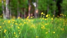 Ranunculus die in weide bloeien stock videobeelden