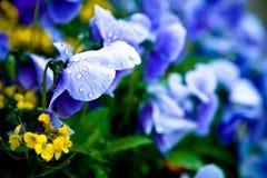 Ranunculus e pansies Fotografia Stock Libera da Diritti
